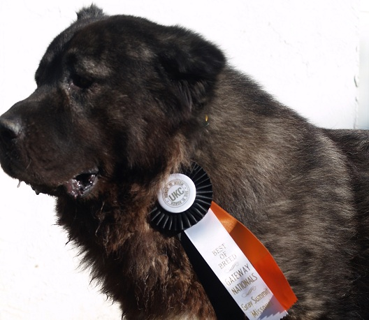 UKC Champion Rockhill VIKING