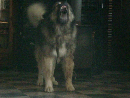 Caucasian ovcharka stud dogs of genuine bear type in the world today