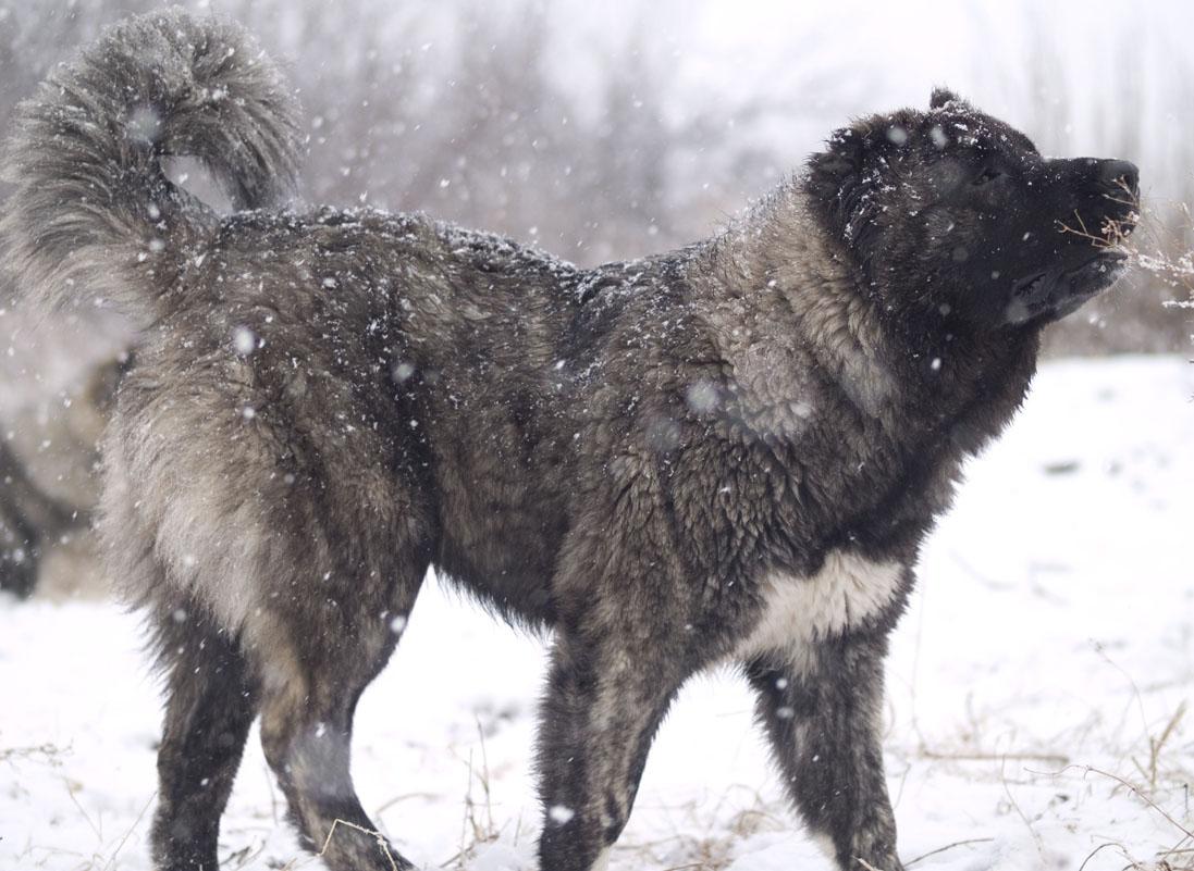 Caucasian mountain dog