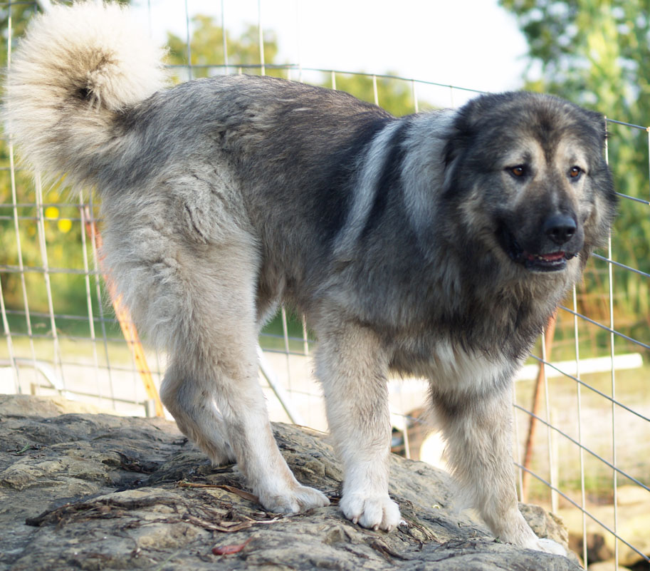 Dog for sale in usa to download caucasian mountain dog for sale in usa