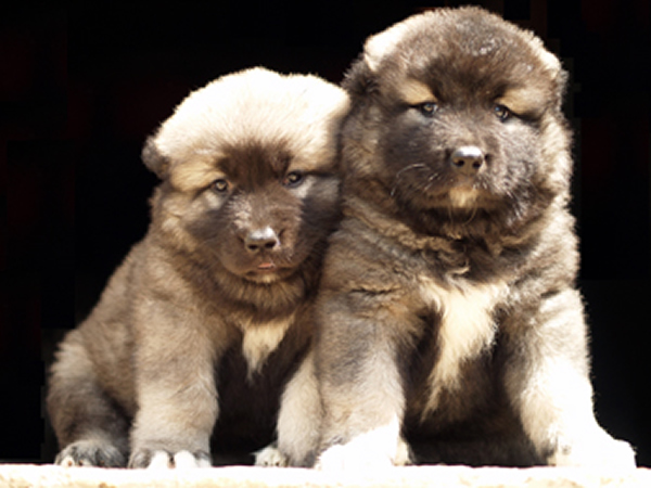 Caucasian Mountain Shepherd For Sale >> Rockhill Caucasians Breeders Of Caucasian Ovcharka Also Know By The